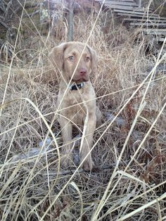 Deadgrass Chesapeake Bay Retriever This will be the color of our next chessy