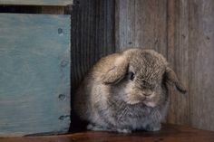 Photo gallery of cute bunny pictures of Holland Lops from Hook's Hollands Ohio…