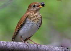 Veery - this bird inhabits our property.  Finally discovered what it was!