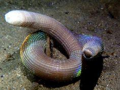 Peanut Worm, 30cm -
