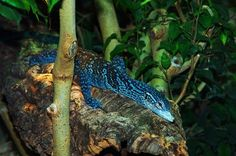 Blue Tree Monitor Lizard | great picture of a blue tree monitor lizard on a branch in some ...