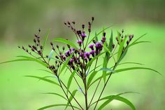 Pretty Little Purple Ironweed