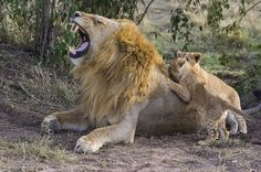 Heartwarming pictures have emerged of the moment a lion cub meets his dad for the first time