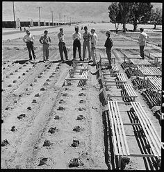 Historic photograph of guayule plants under inspection by Doctor Robert Emerson (third from right), a bio-chemist and botanist from the California Institute of Technology and director of the guayule rubber experiment at Manzanar. In this photograph, Emerson is conferring with Japanese American scientists at Plot 4, where 408 guayule plants had been planted.