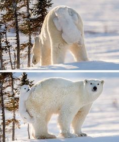Can Polar Bears BE more adorable? :D source: http://imgur.com/r/aww/LM4IW0r