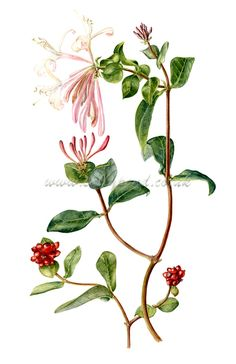 botanical illustration of a branch of honeysuckle with red berries and pink flowers