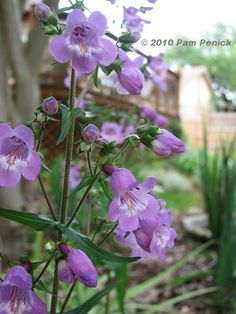 Gulf Coast penstemon (Penstemon tenuis), seeds out freely, but I never find my garden overrun with seedlings. I'm happy to get a few more plants each spring to spread around in my mostly shady garden.