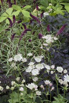 © Rob Whitworth Planting detail including Astrantia 'White Giant' and Lysimachia atropurpurea 'Beaujolais' in the RBC Waterscape Garden Designer: Hugo Bugg Sponsor: Royal Bank of Canada