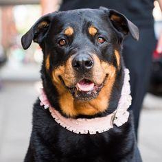 "Lady Sophie of Brooklyn Rottweiler (7 y/o) Houston & Sullivan St. New York NY  ""She loves the beach; she swims in the ocean to cool down. She recently lost 17 lbs per the vet's orders: 'Starve your dog.' (i.e. give her half what you were giving her before). She's running around like she was at 3 years old."" by: @thedogist"