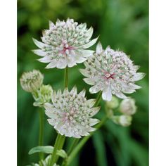 I had this one in my wedding bouquette we planted some in our garden in may of Types Of Flowers, Large Flowers, Wild Flowers, Garden Trees, Garden Plants, Indoor Plants, Perennial Grasses, Perennials, Astrantia Major