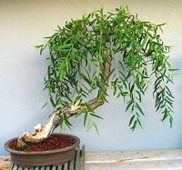Weeping willow bonsai tree.  Cuz full sized weeping willows are hard to come by.  Hardy, easy to take care of.
