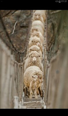 My sheeple