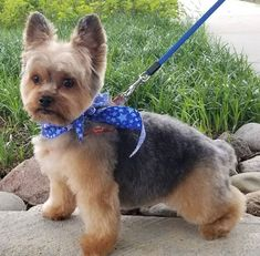 151 Extremely Cute Yorkie Haircuts for Your Puppy Yorkshire Terrier Haircut, Yorkshire Terrier Puppies, Yorkie Cuts, Yorkie Hairstyles, Puppy Haircut, Yorky, Cute Ponies, Yorkie Puppy, Dog Grooming