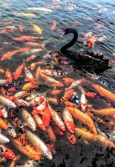 koi pond & black swan