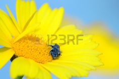 Yellow daisy flower with bee su #123rf #microstockphotographs   #microstockphotowebsite   #microstockphotography   #microstockphotowebsites   #marketingonline  #microstock #marketing #webdesign #design #designaneolife #ecommerceur #fastudio #SEO #web20 #job #Easter #csstemplates #css #html #html5 #html5css3
