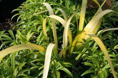 Iris foetidissima 'Aurea', one from Opus Plants