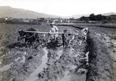 Plowing rice field. Early Japanese Colonial Period postcard art/photography.