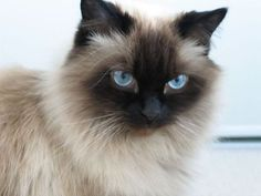 This is my dream cat, I will be getting one soon after I graduate!