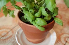 How to Save a Dying Basil Plant in a Pot