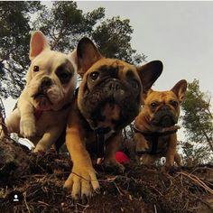 French Bulldog Brigade ♥