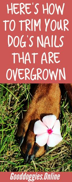 Dog nails need trimming, it's good for your dog's health and #grooming. Check out these tips on overgrown #dog nails.