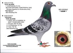 Million Dollar Pigeon Races in South Africa are serious stuff