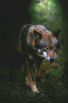 Is Wolf Your Spirit Animal? Wolf Love, Wolf Pictures, Animal Pictures, Animals Photos, Beautiful Creatures, Animals Beautiful, Tier Wolf, Animals And Pets, Cute Animals