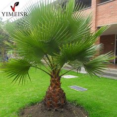 Trachycarpus Fortunei-10 Seeds - Outdoor Perennial plant palm tree seeds for Home Garden Plant tropical ornamental Tree seed