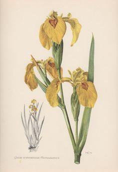 1954 Yellow Iris Vintage Botanical Print Lithograph by Craftissimo