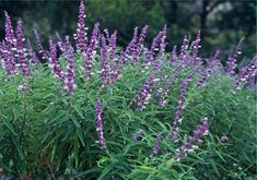 Mexican Sage (Salvia leucantha), fast growth to 3-4 ft., long fuzzy spikes of purple flowers, long blooming, full sun to part shade, deer resistant, drought tolerant, easy to propagate from cuttings.