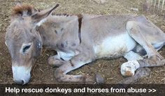 Look at the pain and despair on his face. His only life was carrying loads so heavy that it broke his little body. Often they are whipped and beaten to get back on their feet. Help rescue horses and donkeys from abuse: This organization is doing a wonderful job, please check them out and be an advocate for the innocent. https://donate.wspa.org.uk/3129