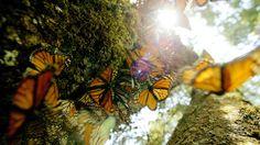 A migração anual de borboletas-monarca numa distância de 4.800 quilômetros é uma das proezas fantásticas do mundo dos insetos. Durante a estação do outono, milhões de borboletas-monarca embarcam na difícil viagem desde o norte do Canadá até ao México e costa da Califórnia. Repórteres da agência Reuters captaram imagens de rara beleza deste fenómeno da migração anual das borboletas-monarca.