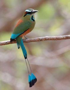 "National bird of Nicaragua ""Guardabarrancos.""  (""ravine-guard"")"