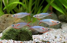 Ricefish (Oryzias woworae)