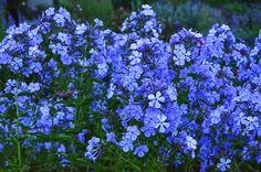 Blue Boy Phlox paniculata. Blue Phlox #phlox #blueflowers