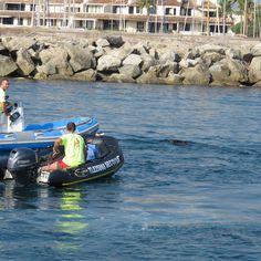 Attractie tijdens oekkieweek in La Garde Freinet.Een everzwijn aan de kust van Saint-Tropez ...