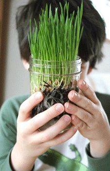 jars of wheat grass