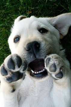 Yellow Labrador Retriever...let's wrestle!