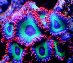 Show off your Rarest/Most Colorful SPS corals - Page 27 - Reef Central Online Community