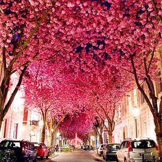 #LifeList: Stroll beneath the blooming cherry blossoms during the Cherry Blossom Festival (Kirschblütenfest) in Bonn, Germany.  https://Facebook.com/InspiringLifeList
