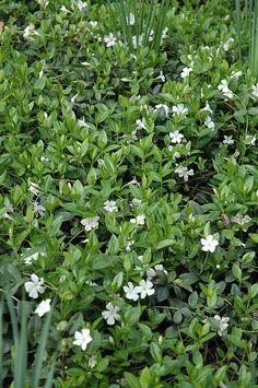 White Periwinkle (Vinca minor 'Alba') at Connon Nurseries CBV Periwinkle Plant, Periwinkle Flowers, White Flowers, Wooded Landscaping, Landscaping Plants, Garden Plants, Container Plants, Container Gardening, Outdoor Pots