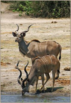 """""""Kudu are particularly common in the well-wooded areas of Chobe, the Kwando–Linyanti area and the Okavango, though they also occur throughout the drier areas of the Kalahari. They are browsers that thrive in areas with mixed tree savannah and thickets, and the males will sometimes use their horns to pull down the lower branches of trees to eat."""" Botswana: the Bradt Safari  Guide; www.bradtguides.com"""