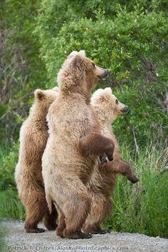 Brown bear sow and cubs stand alert, Katmai National park, southwest, Alaska.