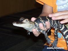 Zilla, American Alligator (August 6, 2013)