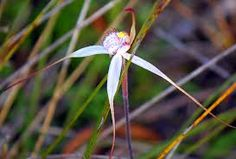 The rare Large White Spider Orchid (Arachnorchis venusta), flowering Wartook State Forest. African Plants, State Forest, Orchidaceae, Bird Watching, Large White, Wild Flowers, Spider, Dandelion, Australia