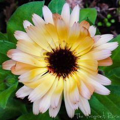 Flower Photography Calendula