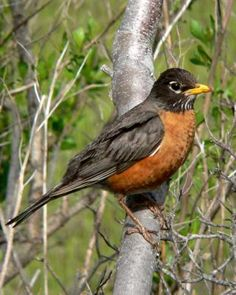 American Robin :: A beautiful spring-like day in Wisconsin! Snow is melting and a robin was heard singing at 7:00am. What a treat! 3/10/14