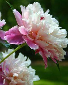 Peonies 101 - Martha Stewart, My Grandma in Indiana grew these , Such a pretty flower.love this flower