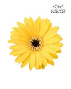 Beautiful Yellow Daisy Print