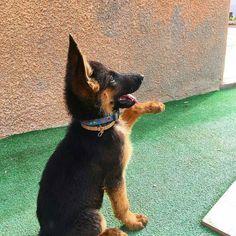 GSD Puppy-Rocky #germanshepherd